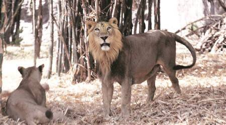Five arrested for chasing lion in Junagadh, sent to one-day custody of forestdepartment
