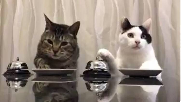 cats ring a bell to eat, cats ringing bell to eat, cats ringing a bell when they are hungry, cats trained by master, cats ringing a bell, two cats ringing bells, viral videos, cute videos, funny videos, indian express, indian express news
