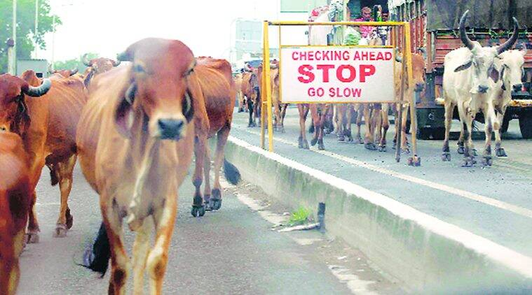 Vadodara: Two get 3-month jail term for leaving cattle on road