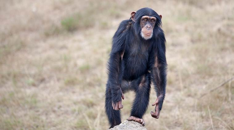 chimpanzee, us zoo chimpanzee throws poop, chimpanzee throws poop at visitor, chimpanzee poop throwing video, viral video, trending video, indian express