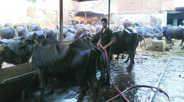 cattle breeding, punjab cattle breeding, cattle breeding bull, bull bredding, punjab bull bredding, indian express new, india news