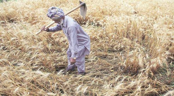 punjab farmers, power cuts, punjab state power corporation, pspcl, maize farmers punjab, sunflower farming punjab, sarso farmers punjab, electricity in farms punjab, agriculture, punjab news, indian express