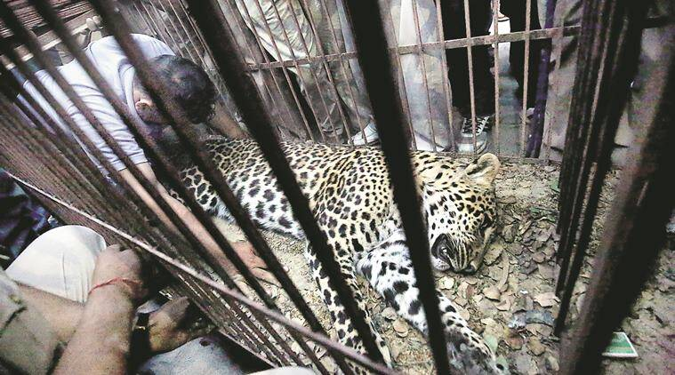 Leopard, leopard search, Delhi-UP, Delhi UP border Leopard, Bhopura locals, Bhopura people leopard, Leopard house, delhi leopard news, delhi news, indian express news