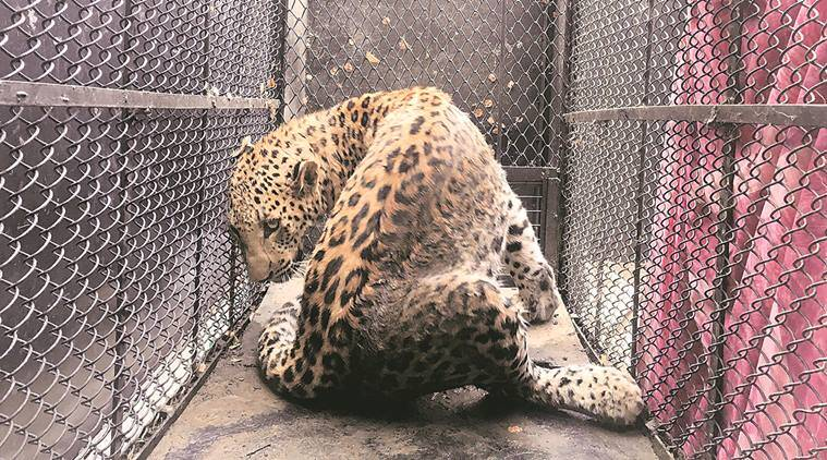 leopards, sohna road leopard, leopard attack, leopard caught, indian express news, gurgaon leopard, gurgaon leopard caught, delhi news