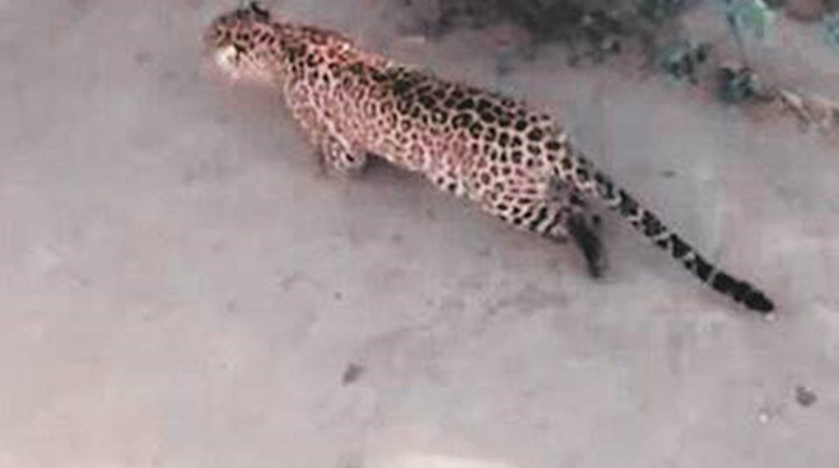 Leopard, Gurgaon, Leopard Spotted, Delhi News, Indian Express, Indian Express News