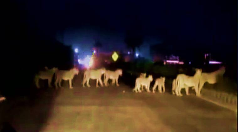 lions, pride of lions, group of lions video, lions halt traffic, lions stop traffic, 11 lions, more than 10 lions, group of lions cross the road, king of the street lion video, lions video on gujarat highway, lion video gujarat, gujarat, gujarat highway, lions video gujarat highway, indian express, indian express news