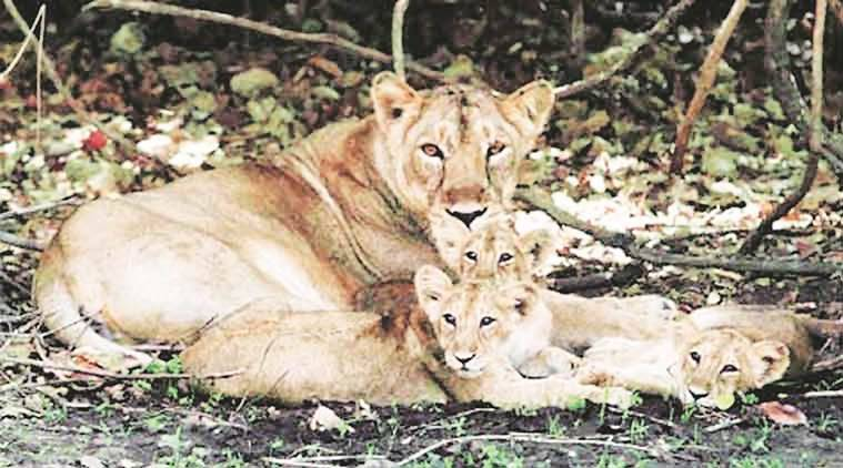 Asiatic lion cubs, lion smuggling, gujarat lion. gujarat lion smuggling, latest news, latest india news, indian express