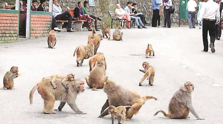 Eco Task Force, himachal Eco Task Force, himachal pradesh, himachal pradesh tourism, himachal pradesh monkey, monkeys oral contraceptive, Ministry of Environment and Forests, monkey problem, indian express news, india news