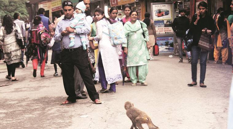 Himachal Pradesh, monkey, monkey menace, vermin, culling of monkeys, himachal pradesh-monkey menace, india news, himachal pradesh news, indian express