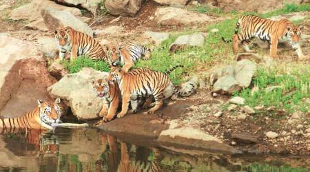 Supermom: What makes Collarwali Baghin of Pench Tiger Reserve a tigress like no other