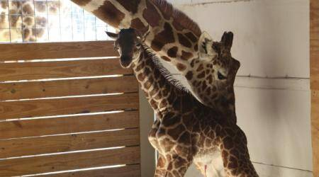 Live streamed giraffe birth, Animal adventure, live-viewed channel, April the giraffe live stream, YouTube, Top 5 most watched moments, private zoo, New York , giraffe conservation efforts, contest to name giraffe baby, Technology, Technology news