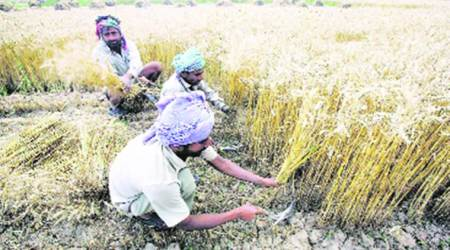 Ahead of wheat sowing season, Punjab to provide 2.80 lakh quintal of subsidised seeds tofamers