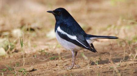 birds, black bird, magpie, robin, cuckoo, pigeon, crow, bird in the wild, bird sanctuary, birds in the sky, birds research, birds story, indian express, indian express news
