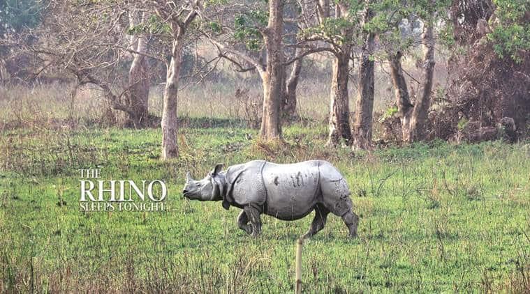 rhino, rhinoceros, assam, kaziranga national park, indian express