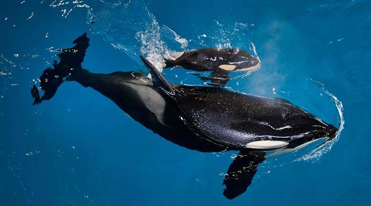killer whale, orca, SeaWorld, last killer whale born, SeaWorld last orca born, SeaWorld whales, SeaWorld killer whales, world-famous killer whale performances, SeaWorld orcas, orcas, viral, trending, trending news, indian express, indian express news