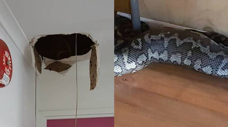 snakes, scary snake stories australia, snake falls through ceiling gym australia, australia gym snake falls through ceiling, australia snake falls through gym ceiling, australia gym snake viral facebook, indian express, indian express news