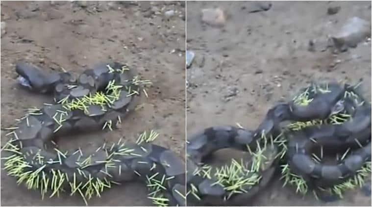 snake, snake videos, snake ate porcupine, snake porcupine video, brazil snake porcuipne spike, snake porcupine quills, viral video, trending video, latest news