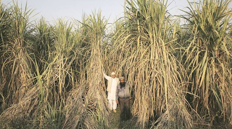 up, uttar pradesh sugar output, sugarcare farming up, uttar pradesh sugarcane farming, india news, indian express news, latest news