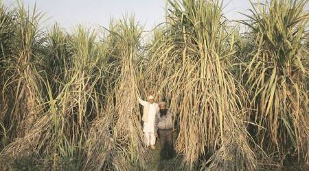 Punjab: Farmers' group threatens protest if sugarcane rates notincreased