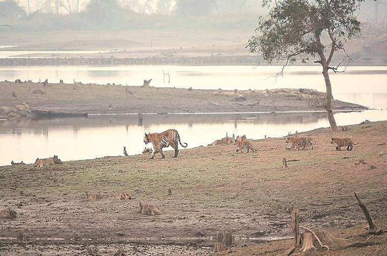 tigers, tigers in india, pench tiger reserve, tiger reserve, india tiger reserve, tiger reserve india, india tigers, madhya pradesh tigers, india news