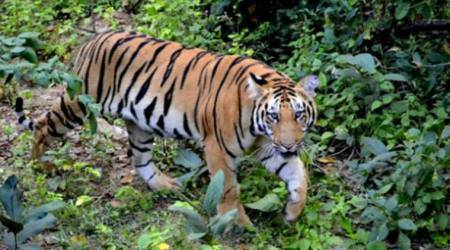 Tiger population up in Manas, Orang; Kaziranga hopes to cross the 140 mark
