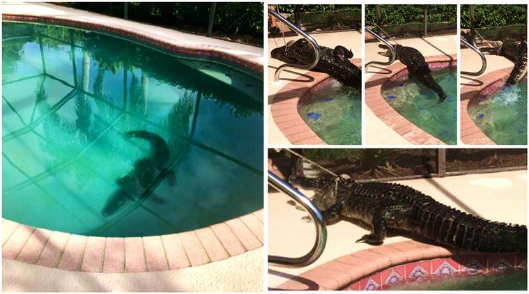 alligator, alligator in pool, alligator swimming pool florida, alligator pool videos, alligator dragged off from pool, animal videos, indian express, indian express news