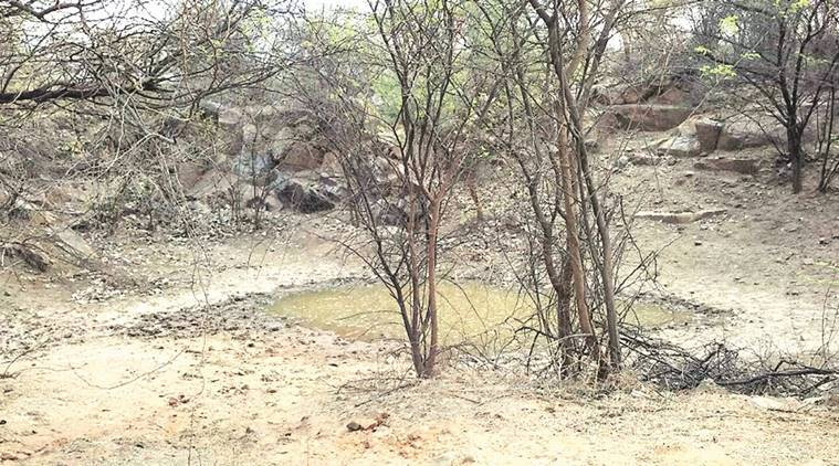 Aravalli, Aravalli animals, animals in Aravalli , Aravalli forest, waterpits in Aravalli, indian express news, india news