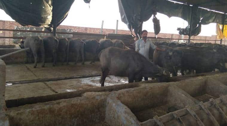 buffalo, livestock husbandry, uttar pradesh, aligarh, male buffalo calves, ICAR, cattle rearing, buffalo rearing, indian express, india news