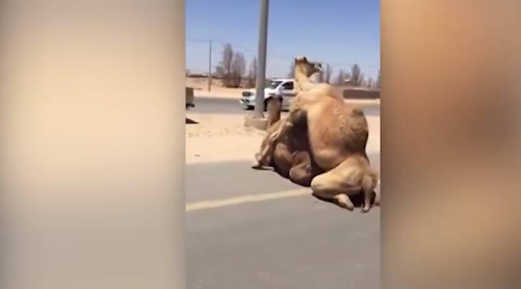bizarre animal videos. funny animal videos, camel caught humping, animals mating on road, indian express, indian express news