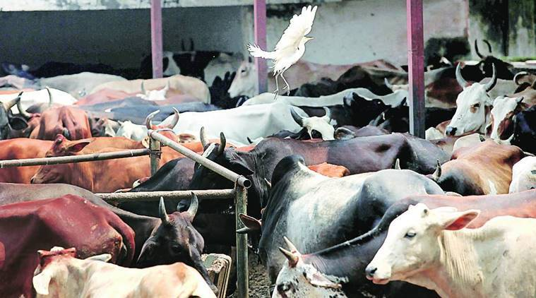 cow protection, cow slaughter