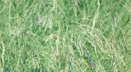 Diet diary: 'Lovegrass', a superfood that may soon be on our dinner tables