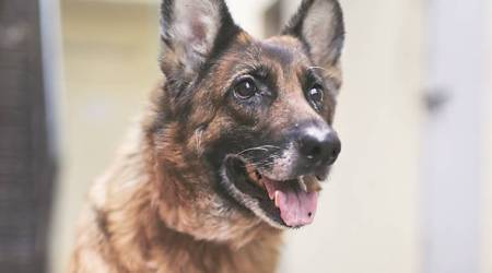 Ruby Will Be Shifted To Friendicoes: Delhi Police's last German Shepherd to retire next month
