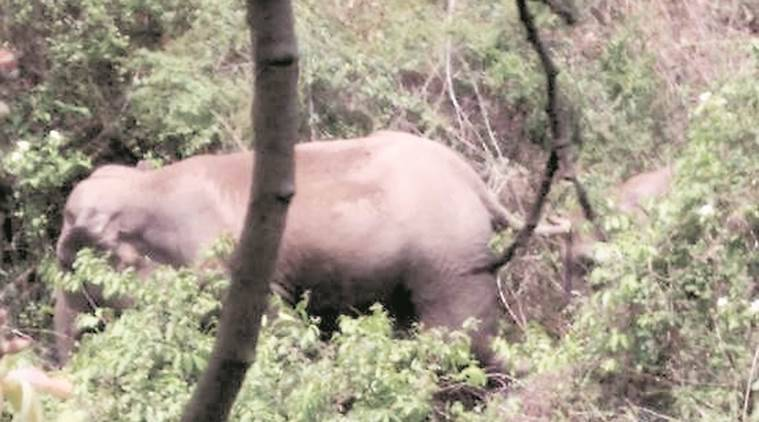 Odisha, Odisha elephant, Andhra elephants, elephants mangoes, elephant sightings, India news, Indian Express