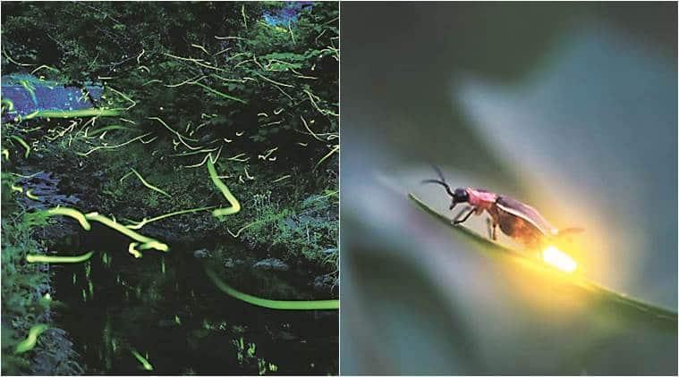 Mumbai Travellers, firefly-spotting, Firefly spotting in Maharashtra, Maharashtra wild life tours, Maharashtra treks, India news, National news, Latest news,