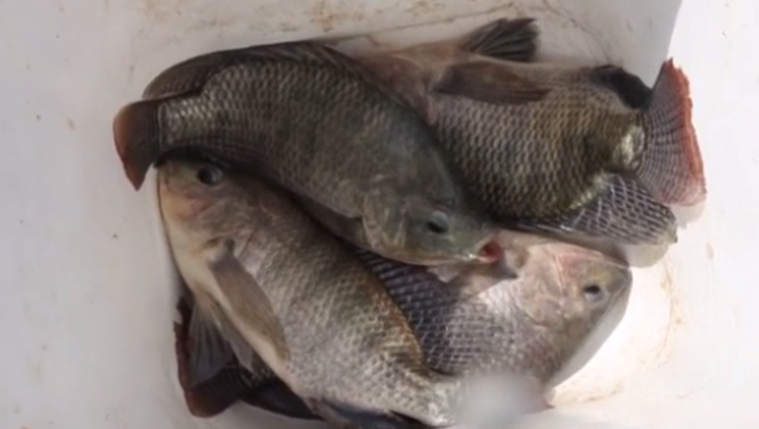 Watch good news brazilian doctors are trying tilapia for Fish skin for burns