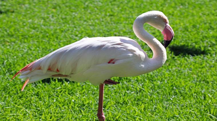 flamingos, flamingos one leg, india news