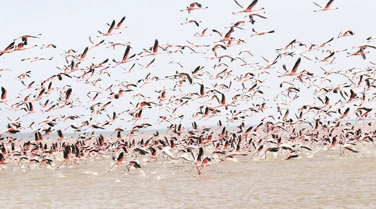 Gujarat: 27 flamingos electrocuted after hitting power transmission line in Bhavnagar
