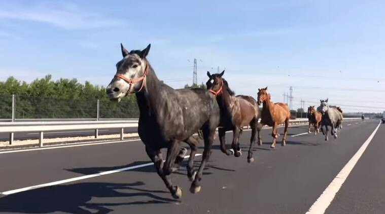 funny animal videos, horses on the highway video, viral animal videos, horse videos, indian express, indian express news