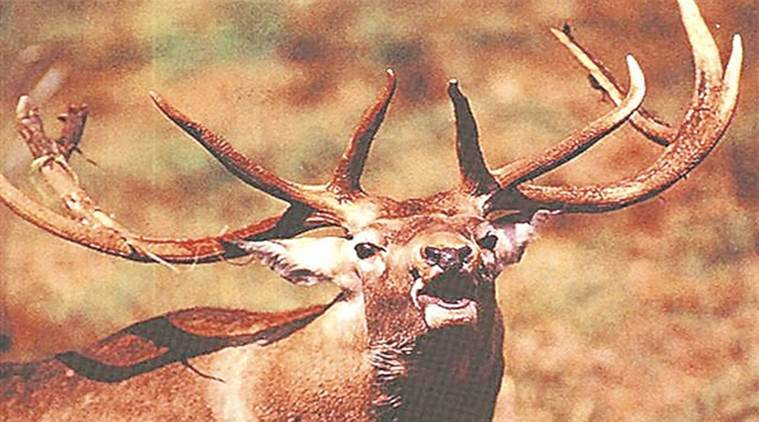 kashmir stag, hangul, kashmir stag breeding stag, j&k, jammu kashmir wildlife, european red deer, indian express