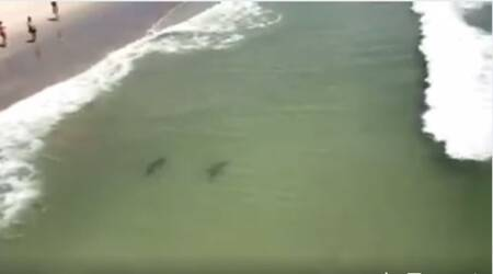 WATCH: Sharks swimming near the beach shore leave human lives in danger