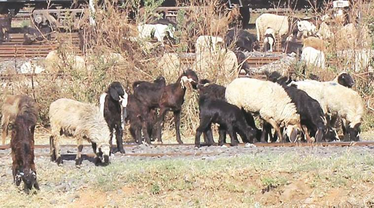 Andhra Pradesh, Telangana, Sheep, Telangana sheep order, Talasani Srinivas Yadav, Indian express, India news