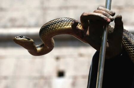 Mumbai: Snake rescuers have hands full at Kalyan societies