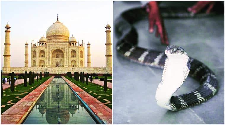 thirsty snake, thirsty snake at taj mahal, taj mahal, taj mahal snake, taj mahal snake panic, snake creates panic in taj mahal, viral, trending, indian express, indian express news