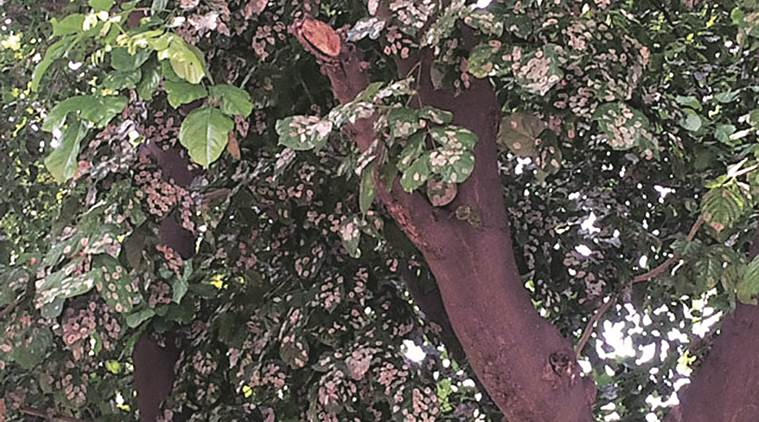 Trees, Pune Trees, Pune News, Indian Express, Indian Express News