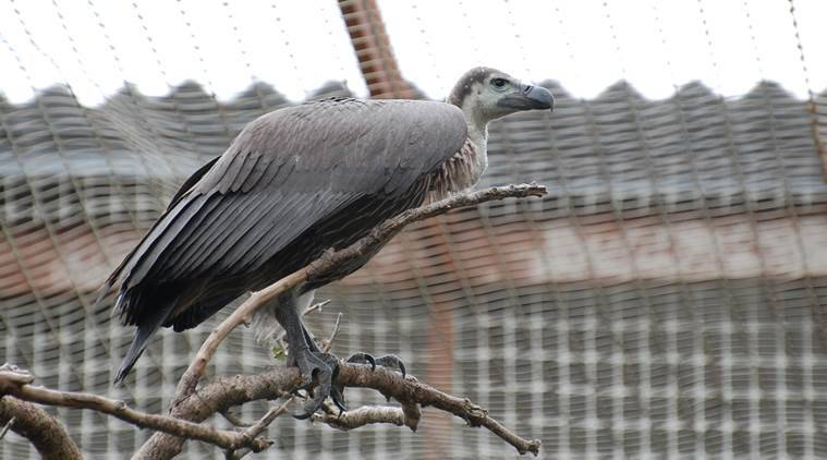 Bir Shikargah Wildlife Sanctuary, Wildlife Sanctuary Pinjore, Haryana, Pinjore, Prakash Javadekar, Jatayu Conservation Breeding Centre, Jatayu, vulture, vulture conservation, wildlife conservation, latest news, latest india news, indian express