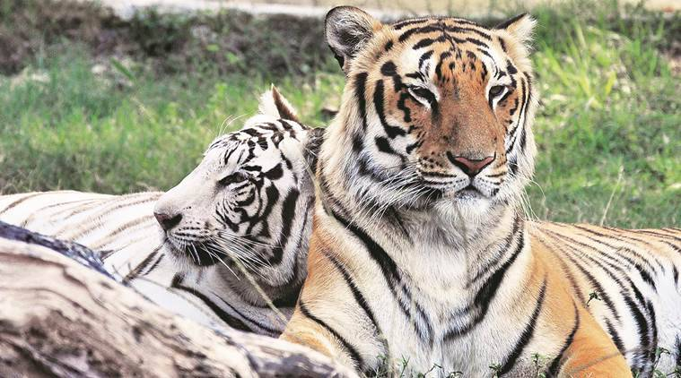 tigers, endangered tigers, Supreme Court, tigers death