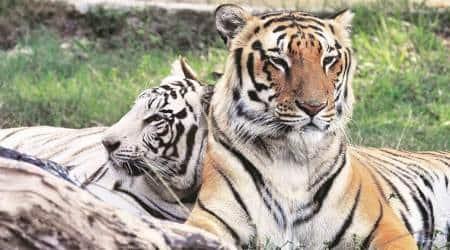 Maharashtra: Two more tigers found dead