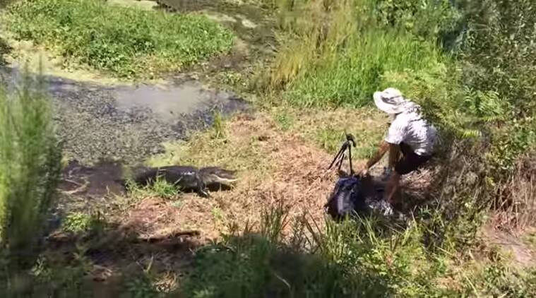 viral animal videos, alligator videos, alligator attacking man, animal videos, indian express, indian express news