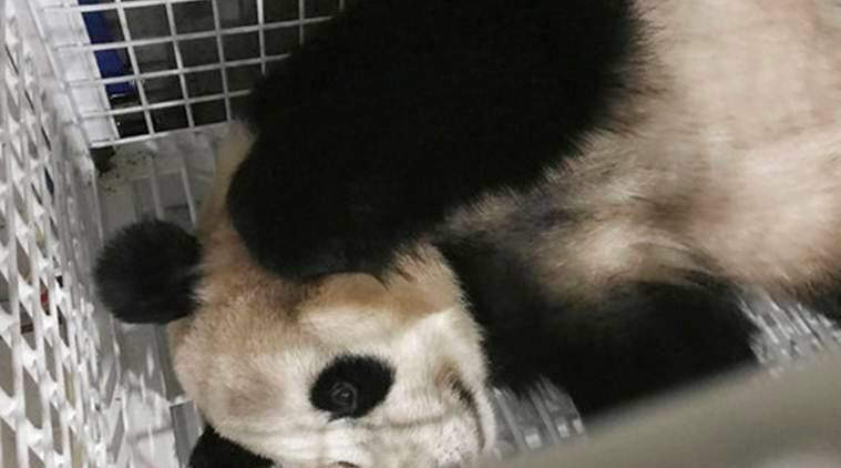 China Panda, Japan Panda, China Pandas, Japan Pandas, China Giant Pandas, Japan Giant Pandas, World News, Latest World News, Indian Express, Indian Express News