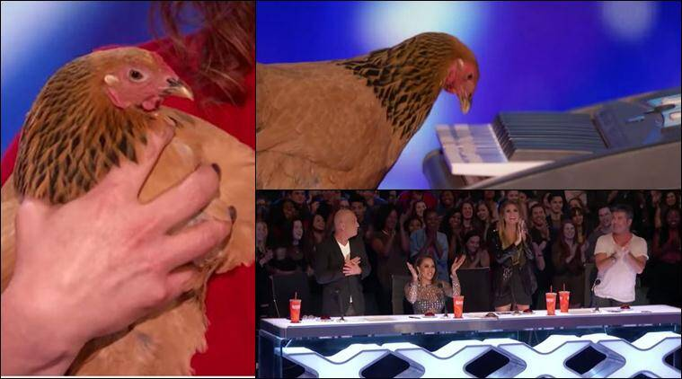 america's got talent, chicken playing piano,